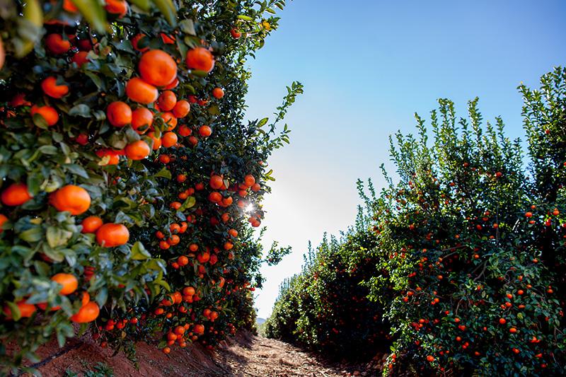 citricos-clementinas