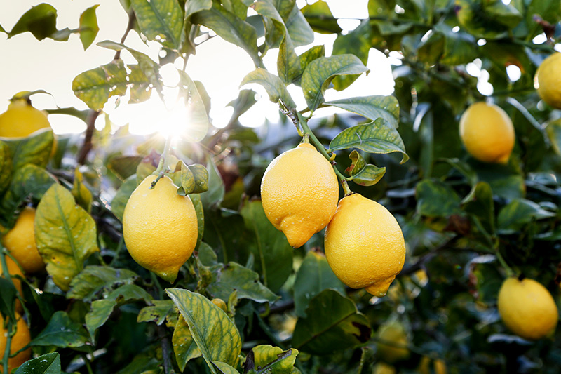 citricos-lemon