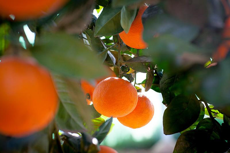 citricos-naranja