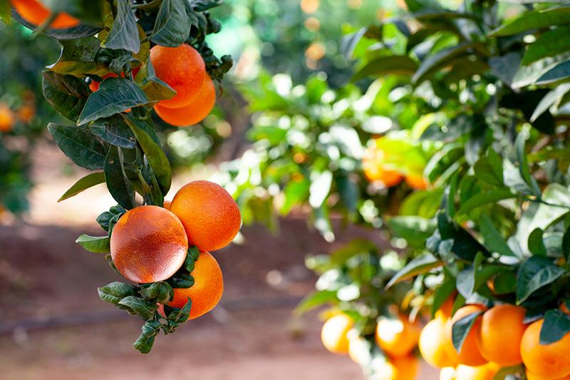 citricos-sanguinelli