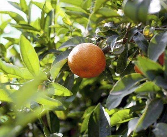 clementina-arrufatina 1