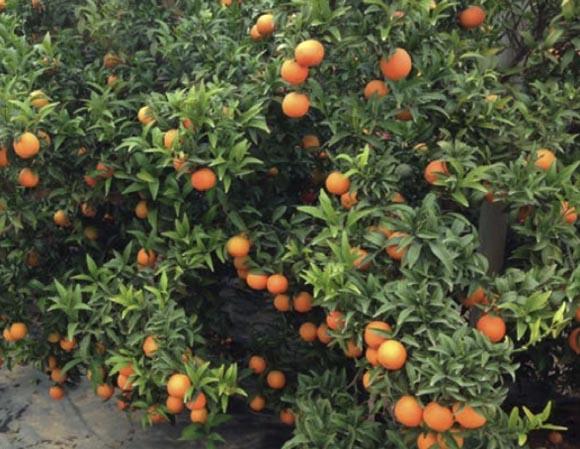 clementina-clemenrubi 1