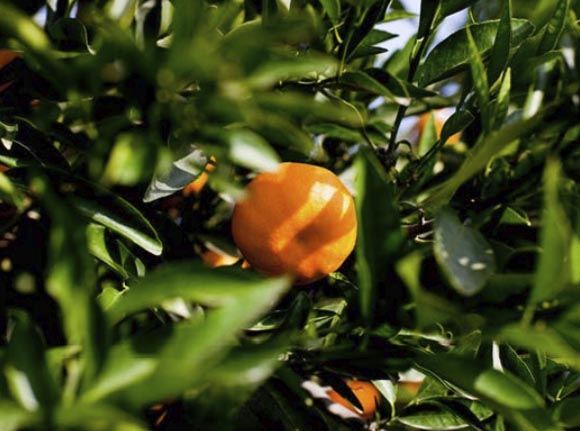 clementina-orogrande 1