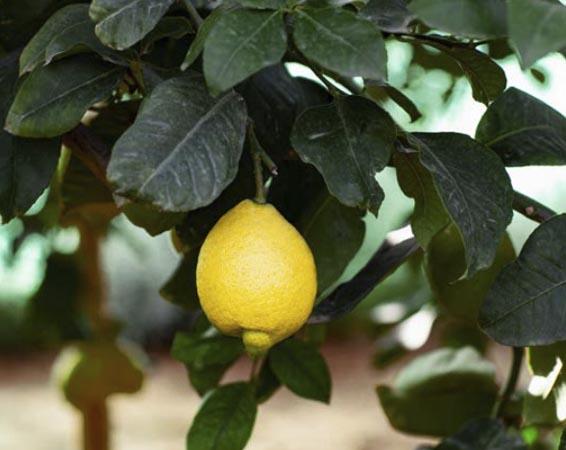 limon-fino 1
