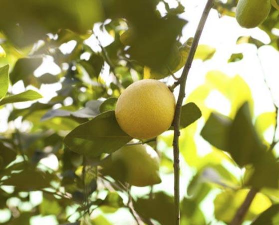 limon-verna 1