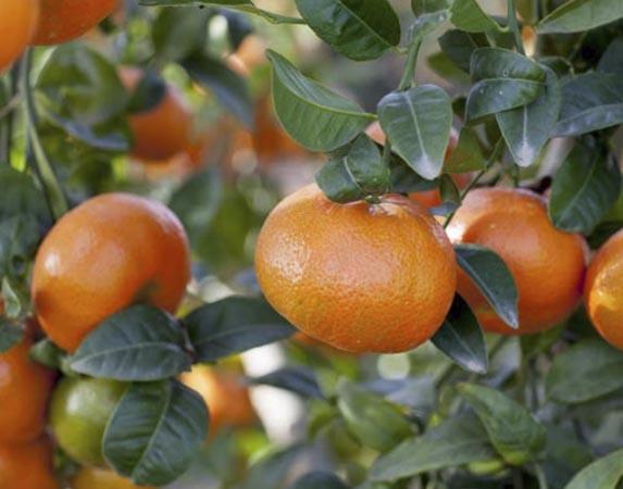 mandarina-nadorcott 1