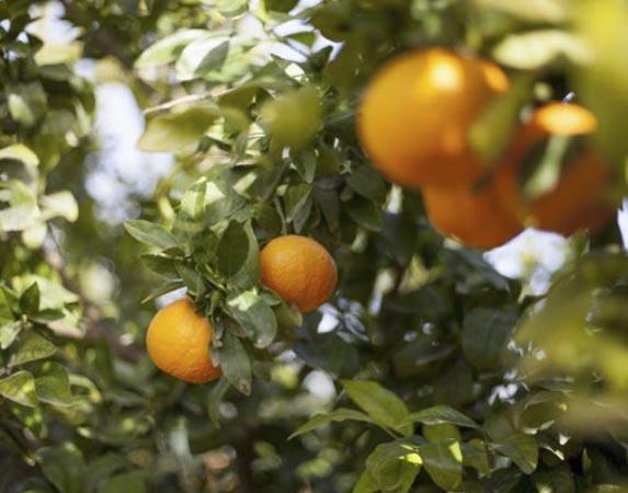 mandarina-orri 1