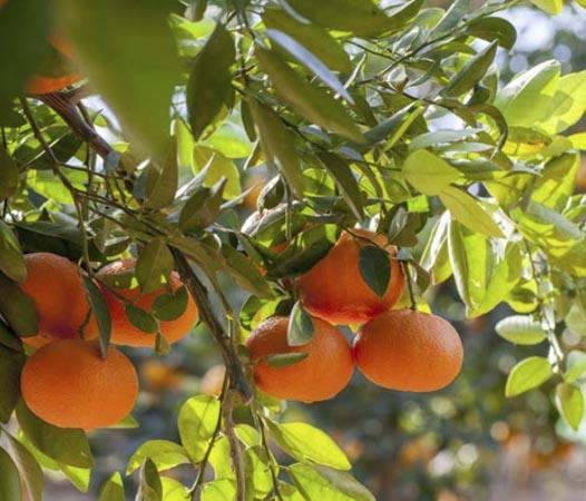 mandarina-ortanique 1
