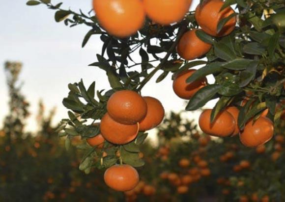 mandarina-spring sunshine 1