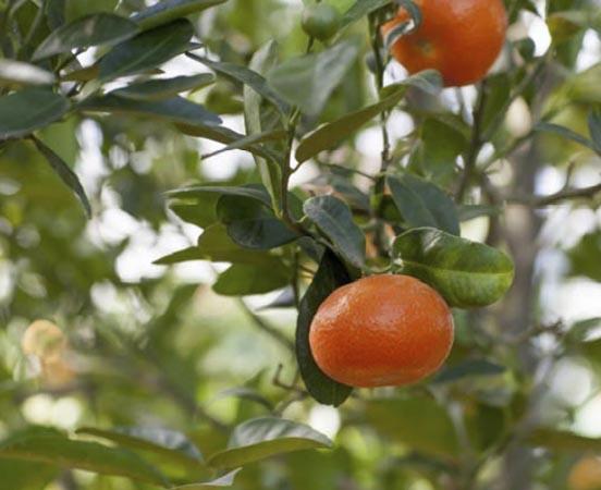 mandarina-tango 1