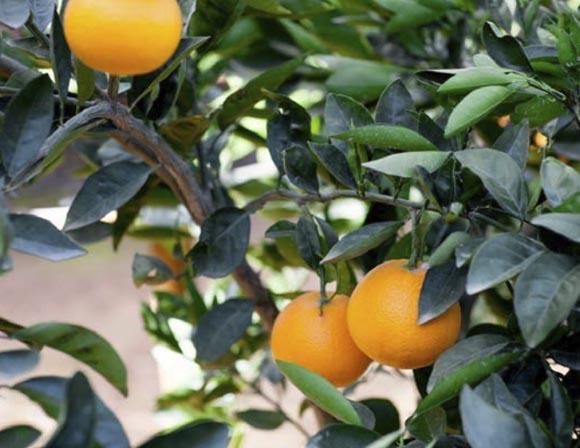 naranja-barberina 1