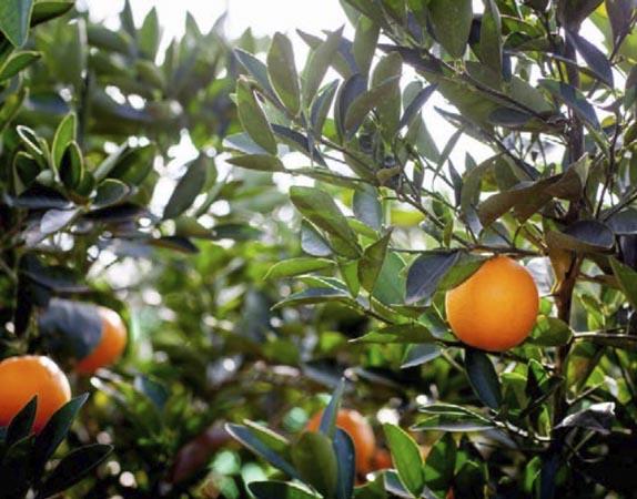 naranja-cara cara 1