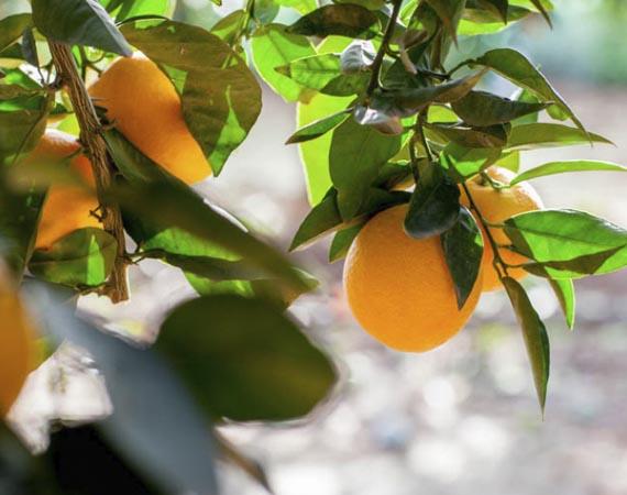naranja-nave late 1