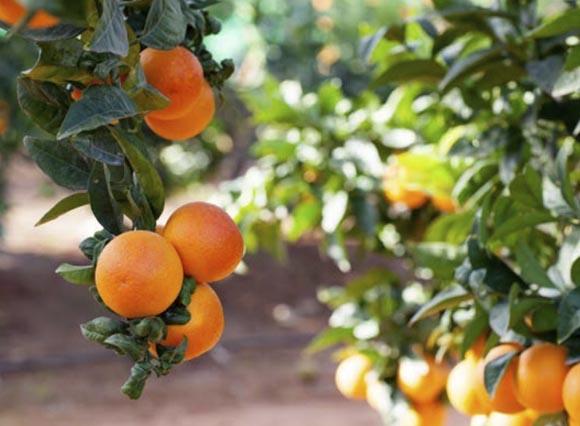 naranja-sanguinelli 1