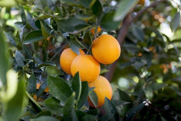 naranja-valencia-delta-seedless
