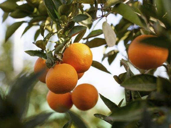 naranja-valencia late 1
