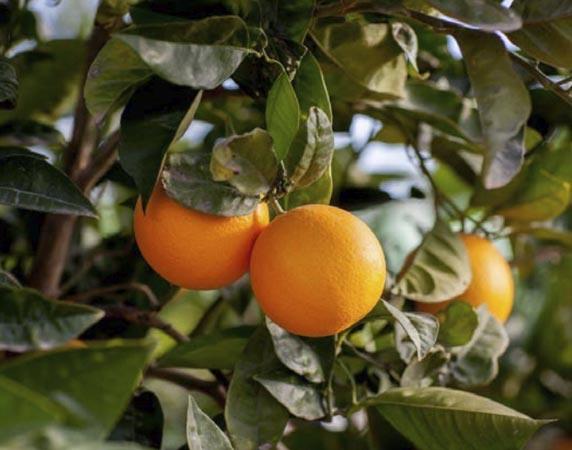naranja-valencia midknight 1