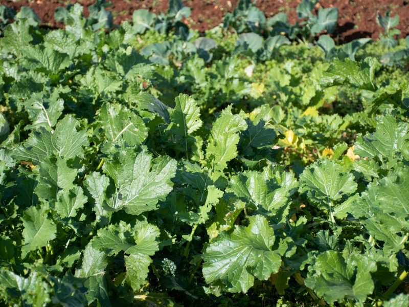 Cime di rapa, rapini or broccoli rabe in a field, green cruciferous vegetable, veggies, mediterranean cuisine