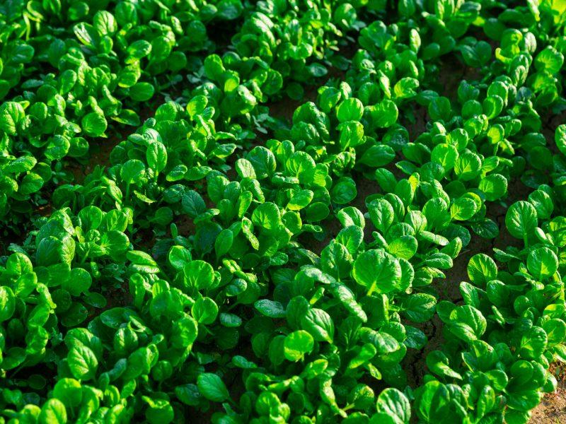 Green canonigos plants carefully growing in the garden