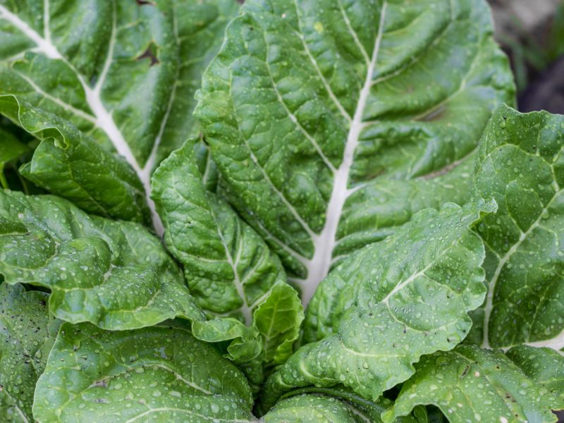 chard leaves wet with raindrops in the organic garden in the spring