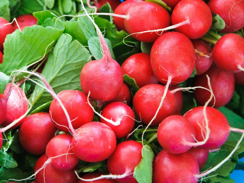Freshly picked red radish at a farmers market on Cape Cod