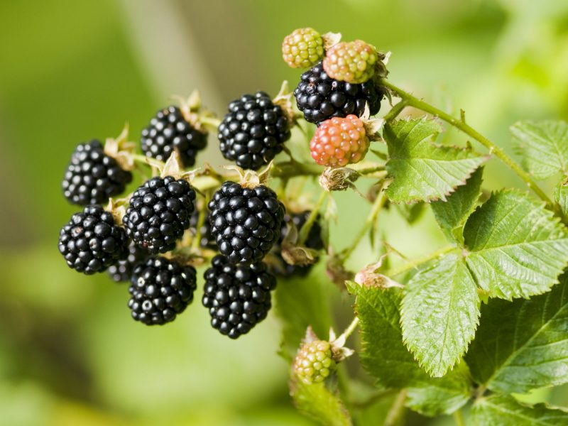 Fresh bunch of blackberry fruit on branch and green leaves in nature. Close-up, horizontal shot, soft focus green background.