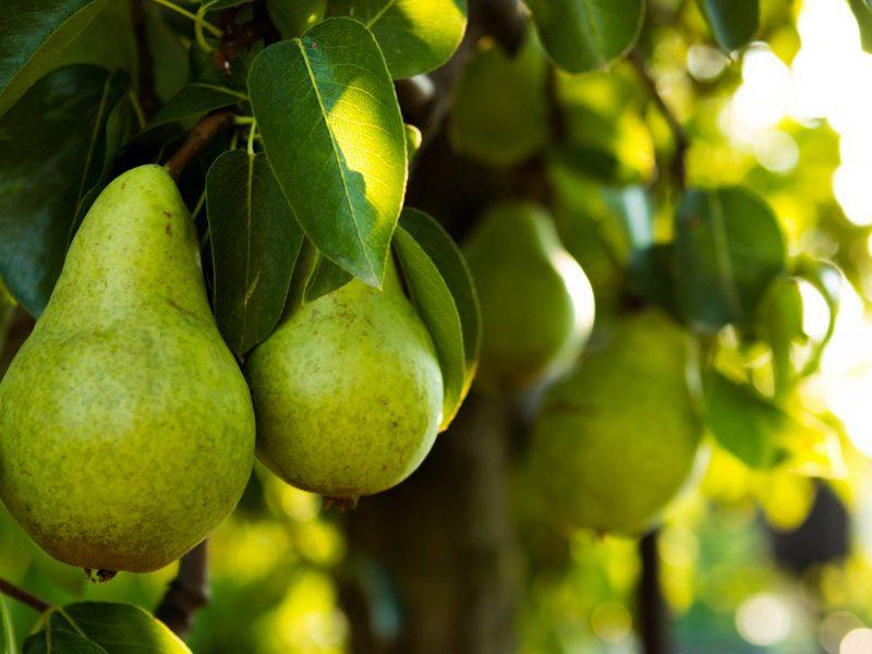 Ripe Pears on a Tree.
