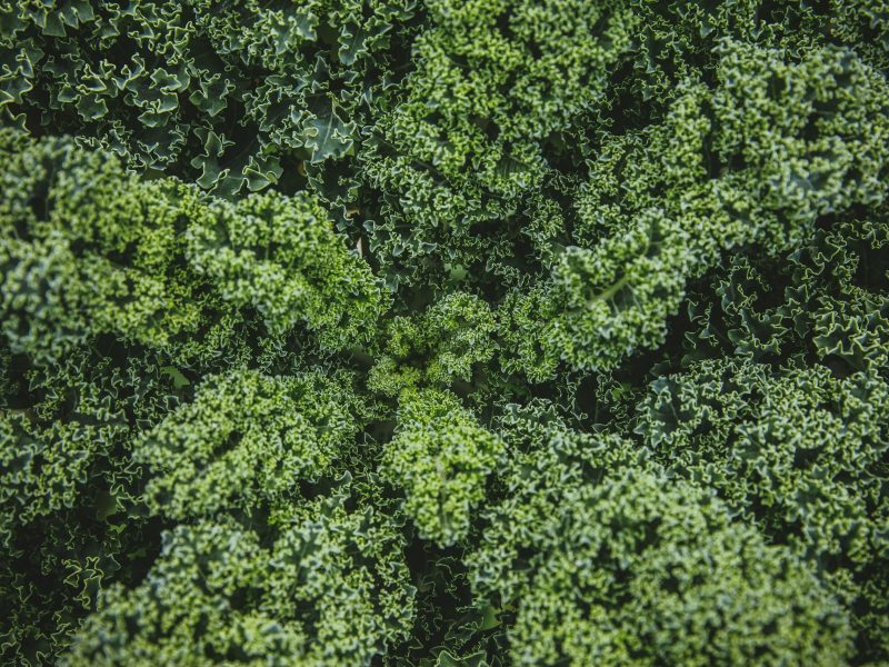 Overhead view of a Kale plant