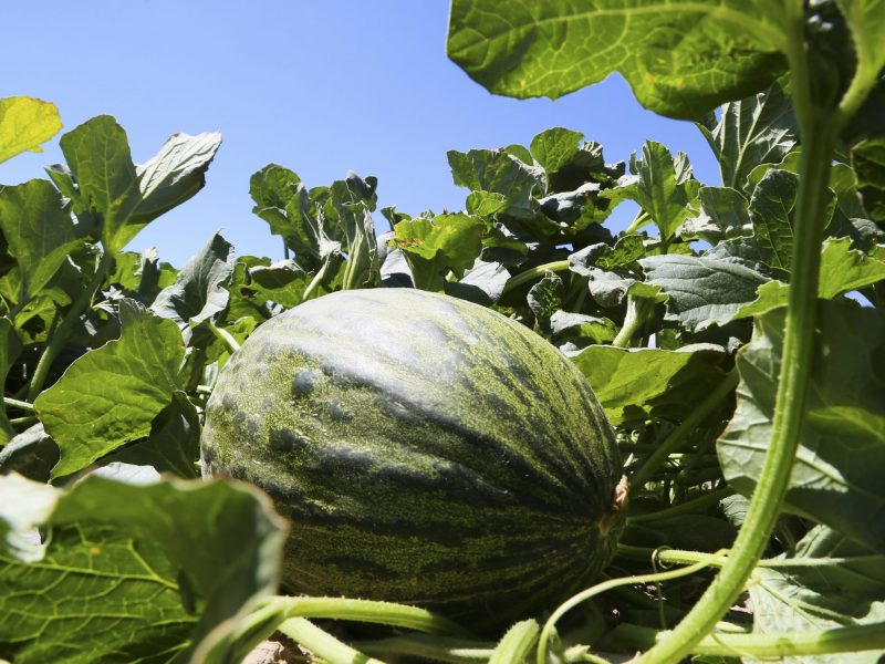 melon-piel-de-sapo-en-el-arbol_572A7226 (1)