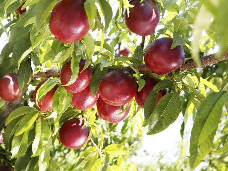 nectarina-en-el-arbol_572A1758retoc-B