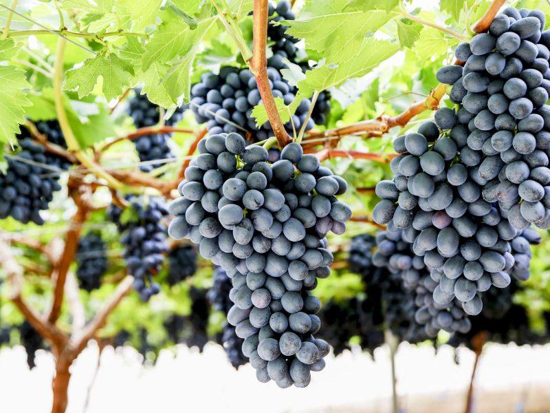 uva-negra-en-el-arbol_572A4260